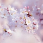 Hanami – admiring flowers.
